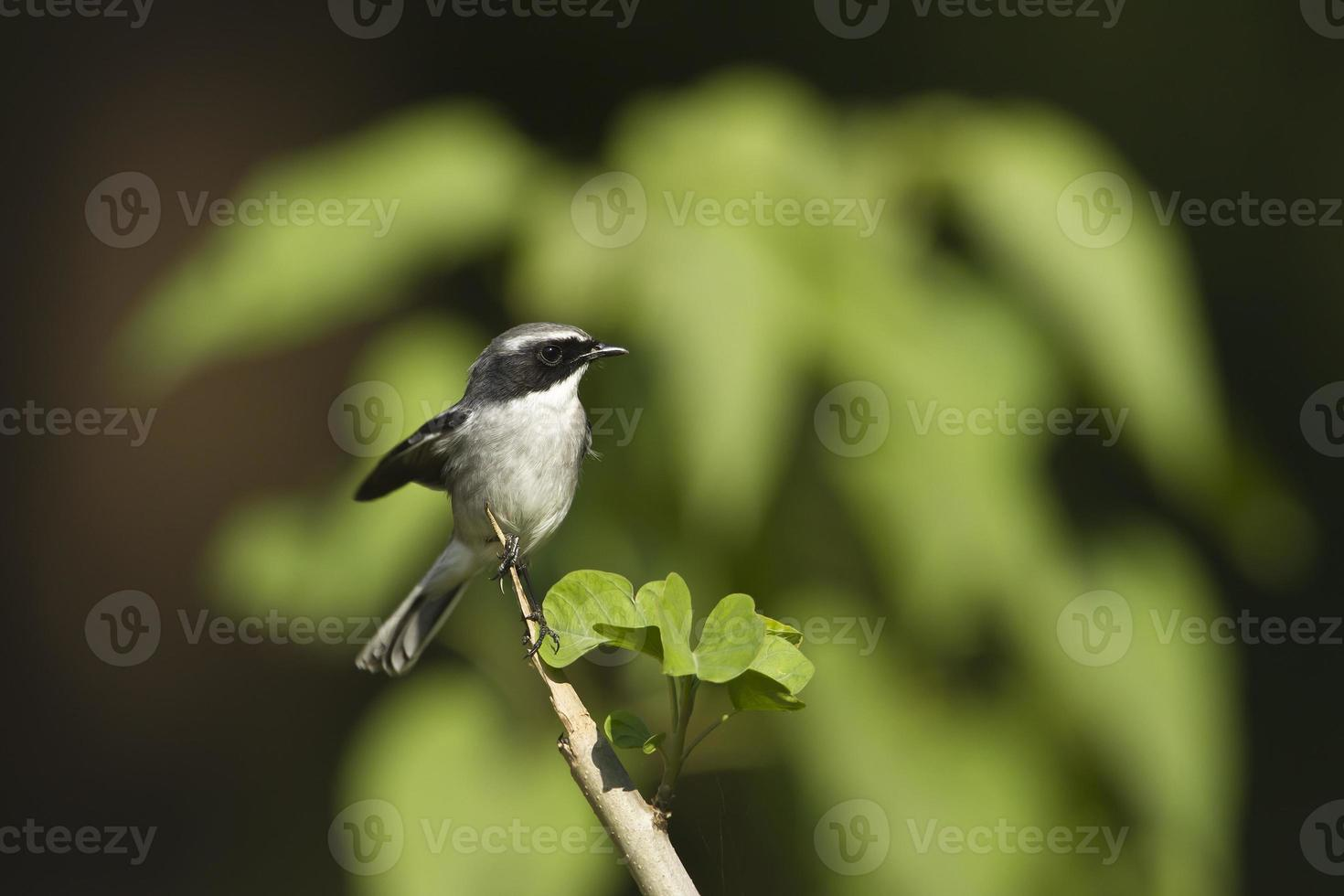 pássaro macho cinzento bushchat no nepal foto