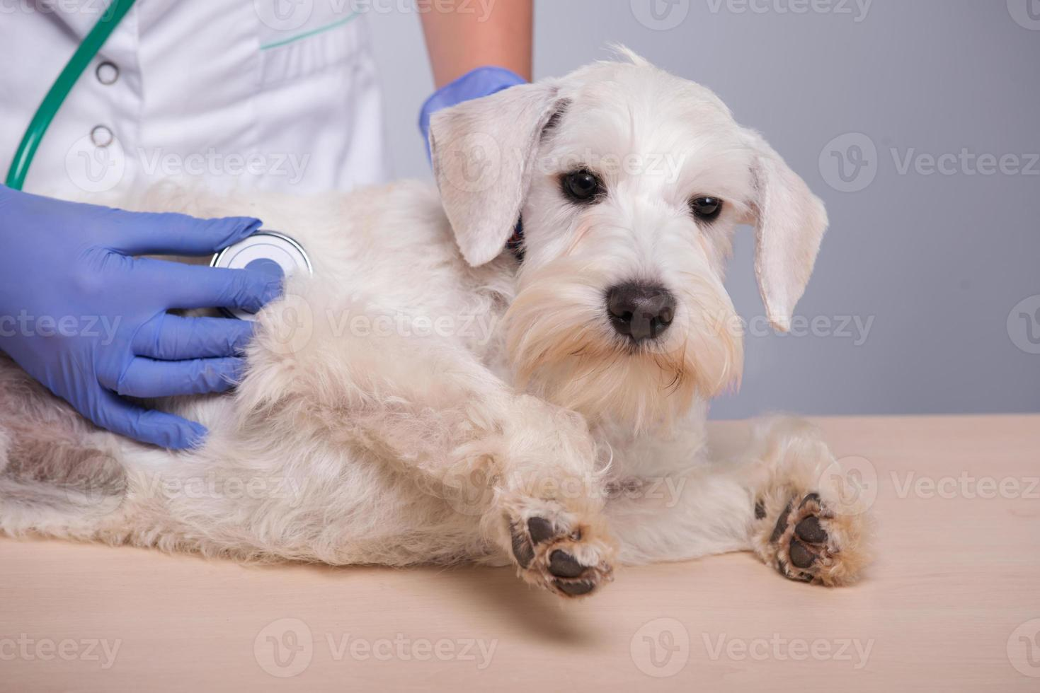 veterinário feminino examina cachorro com estetoscópio foto