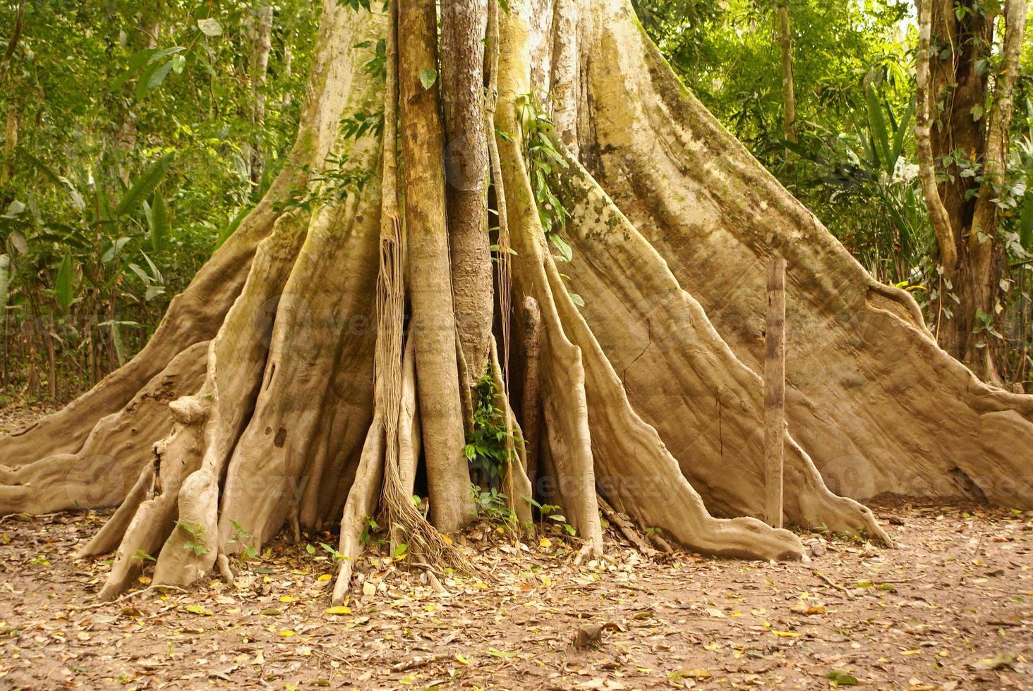 árvore da selva amazônica foto