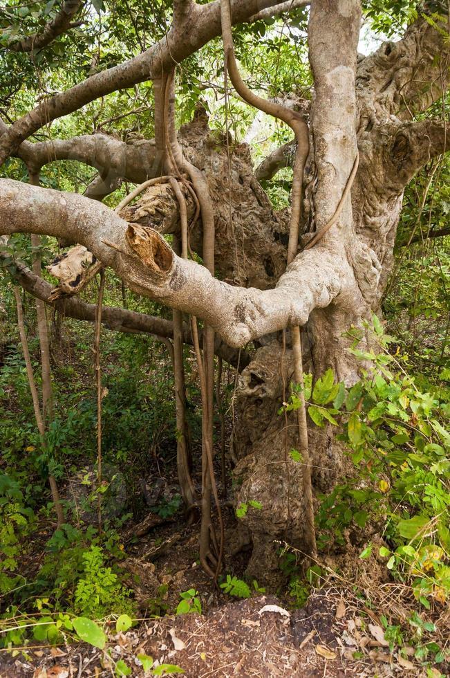 árvore de banyan indiano no meio da selva foto