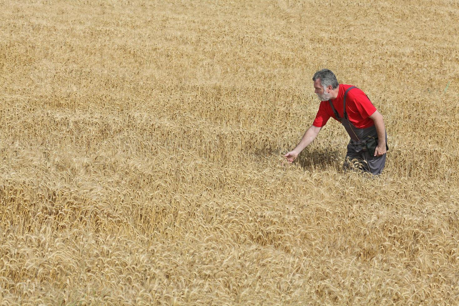 cena agrícola, agricultor ou agrônomo inspecionam o campo de trigo foto