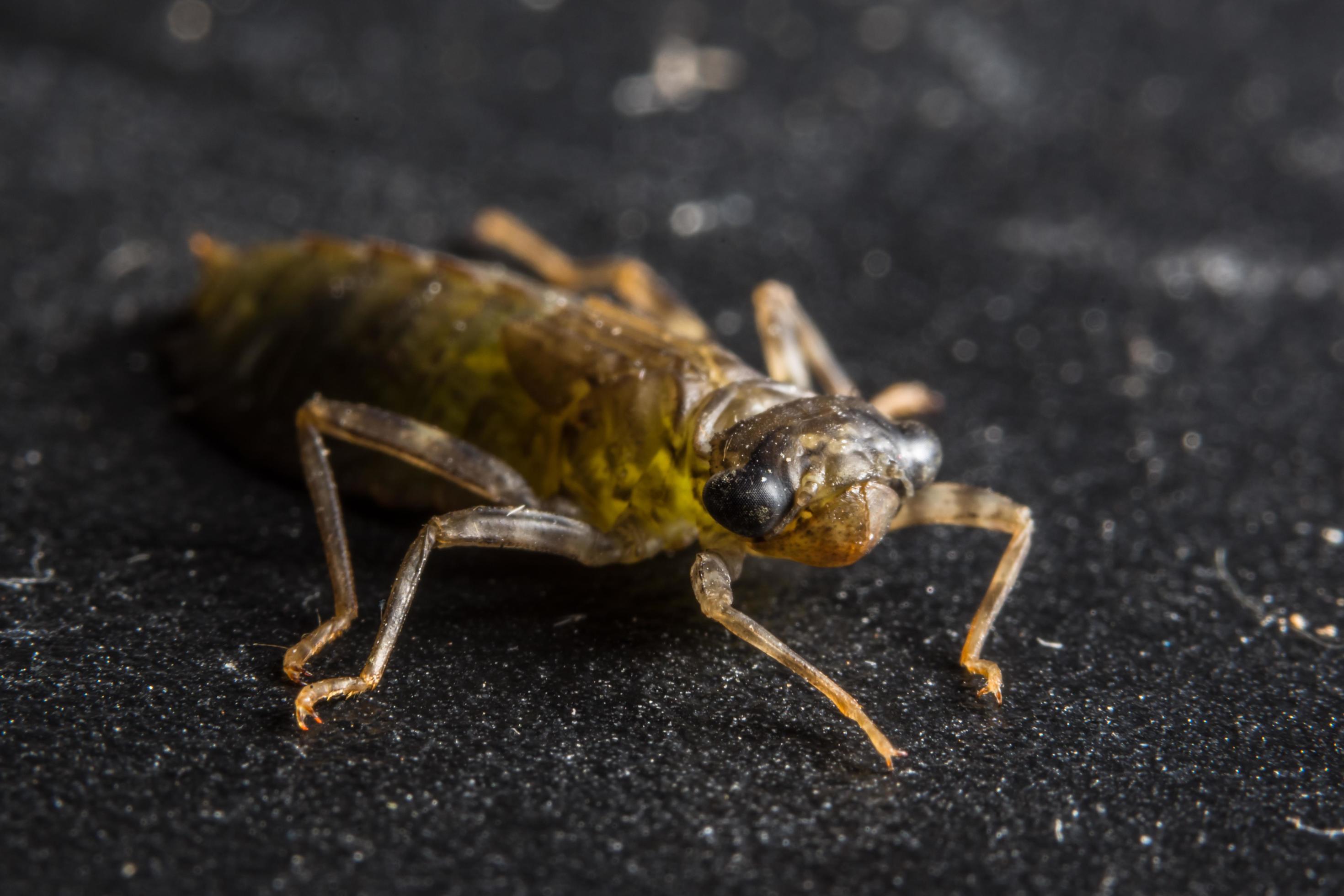 larva libelule)
