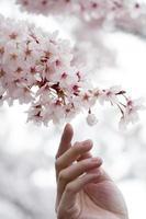 mão da pessoa tentando tocar as flores de cerejeira