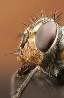 retrato de uma mosca-zangão foto