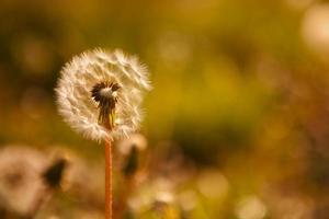 dente de leão com sementes no fundo da grama foto
