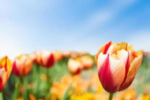 tulipa amarela vermelha