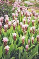 curcuma alismatifolia ou siam tulip ou tulipa de verão, efeito vintage foto