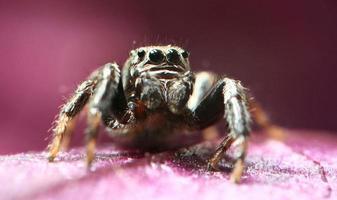 saltador de aranha foto