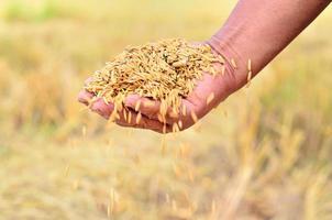 semente de arroz de jasmim na mão do agricultor foto