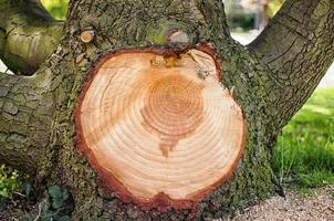 galho grande cortado de uma árvore mostrando anéis concêntricos