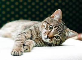 gato tigrado relaxar foto
