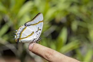 grande borboleta nawab foto