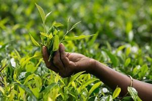 pegando folhas de chá foto