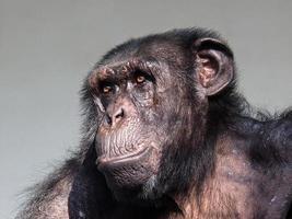 chimpanzé foto