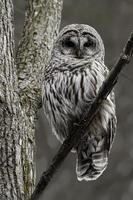 alerta coruja barrada, strix varia, empoleirado em uma árvore foto