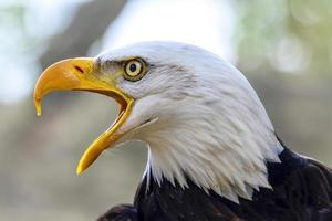 águia americana haliaeetus leucocephalus foto