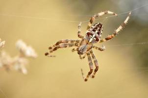 aranha cruz, araneus diadematus foto