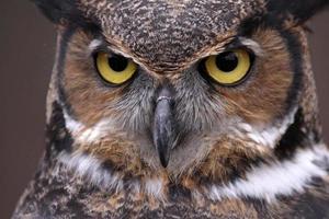 grandes olhos de coruja com chifres foto