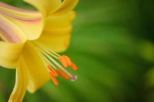 lírio de trombeta amarela foto
