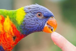 lorikeet australiano do arco-íris, trichoglossus moluccanus foto