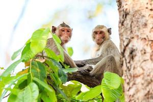 macacos (macaco comendo caranguejo) na árvore na Tailândia