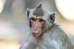 close-up de macaco (macaco comendo caranguejo) na Tailândia foto