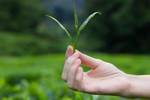 folhas de chá frescas nos dedos