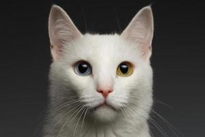 gato branco closeup com olhos heterocromia em cinza foto