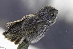 coruja cinzenta, strix nebulosa, no inverno