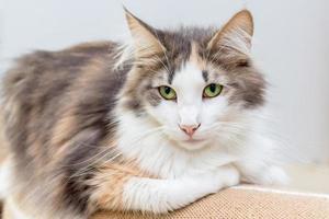 gato bonito da floresta norueguesa com olhos verdes foto