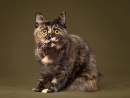 gato linda tartaruga com olhos amarelos foto