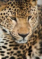 animais selvagens: retrato de leopardo foto