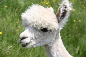 rosto de alpaca raspada foto