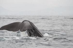 cauda de baleia de esperma foto