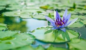 lótus roxo lindo, planta de água com reflexo em uma lagoa