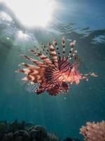 peixe-leão com reflexo do sol foto