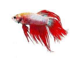 vermelho coroa cauda peixe-lutador-siamês, betta splendens.
