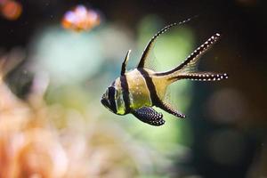 peixes coloridos tropicais nadando no aquário com plantas foto