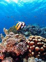 bannerfish do mar vermelho foto
