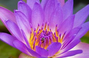 feche a abelha na flor de lótus violeta.