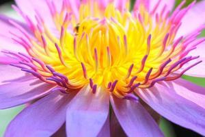 Feche acima da flor de lótus do pólen.