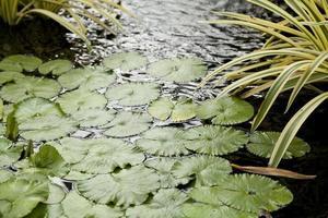 folhas de lótus