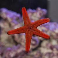 estrela do mar vermelha fromia aderindo ao vidro do aquário foto
