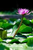 lírio de água de lótus rosa linda na lagoa