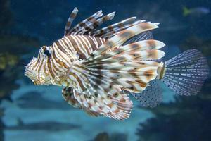 peixe-leão vermelho foto