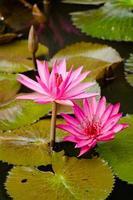 lótus bonita na lagoa