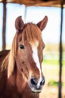 cabeça de cavalo foto
