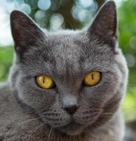 retrato de gato azul britânico.