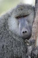 babuíno verde-oliva foto