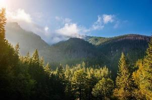 floresta de pinheiros